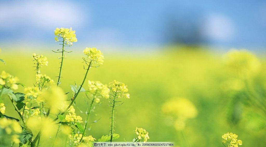 小黃花1圖片