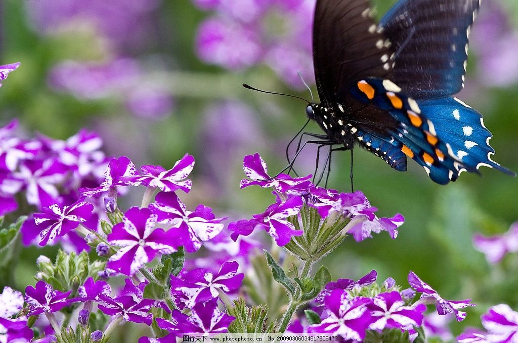 蝴蝶采花 花朵 紫色小花 自然景观 自然风景 摄影图库