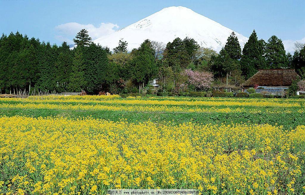 油菜花 花 油菜 风景 自然景观 自然风景 摄影图库 300dpi jpg