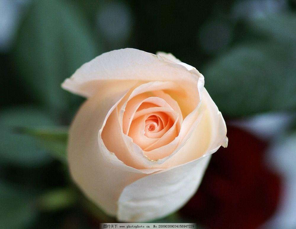 玫瑰花 旅游摄影 自然风景 摄影图库 72dpi bmp