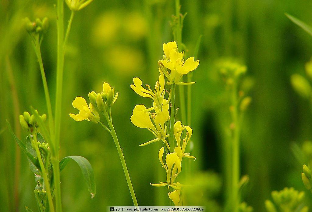 油菜花香(八)图片