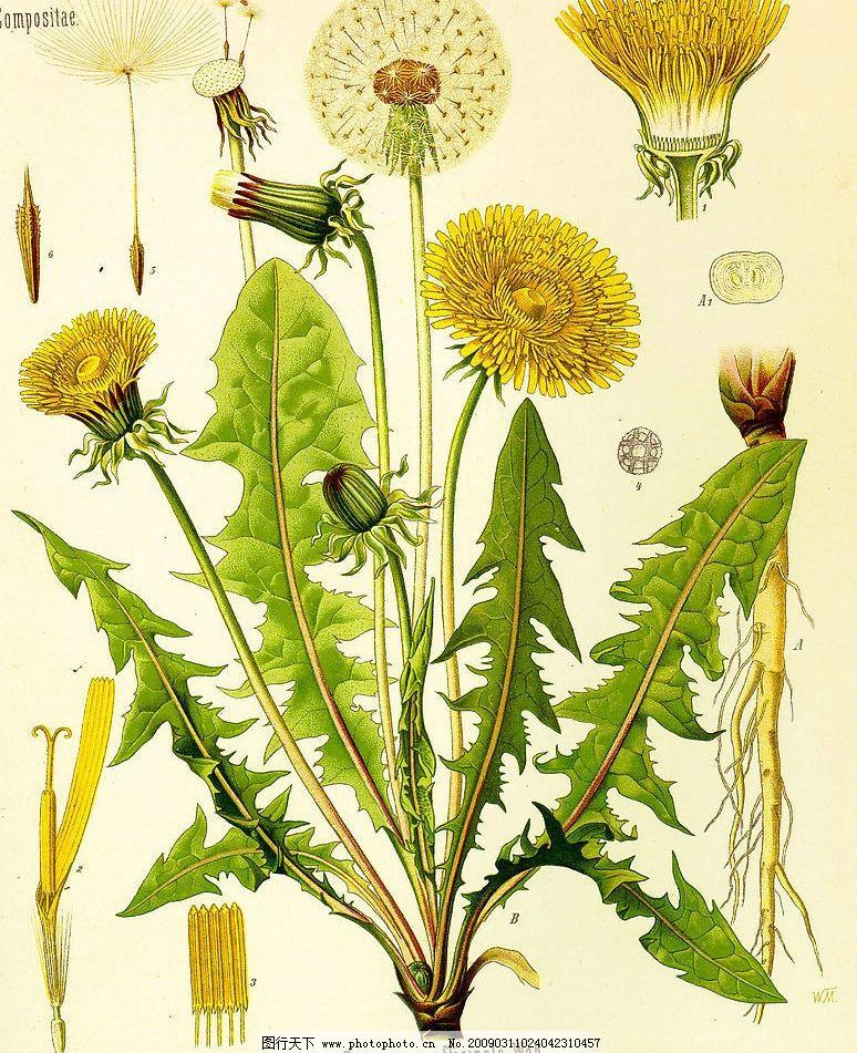 蒲公英 花 花骨朵 叶子 杆 自然景观 自然风光 设计图库 素材 400dpi