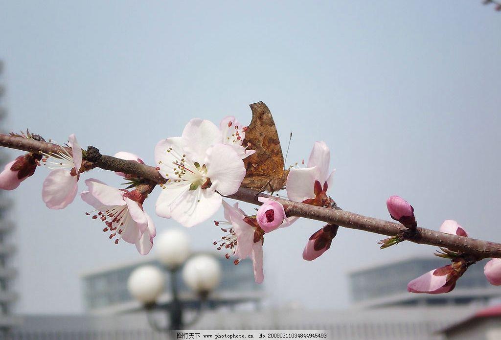 桃花和蝴蝶图片
