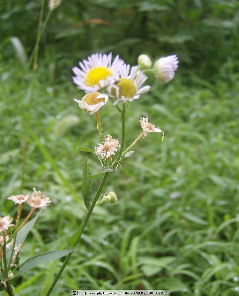 野花 白色小野花 自然 绿色 自然景观 自然风景 摄影图库 314dpi jpg