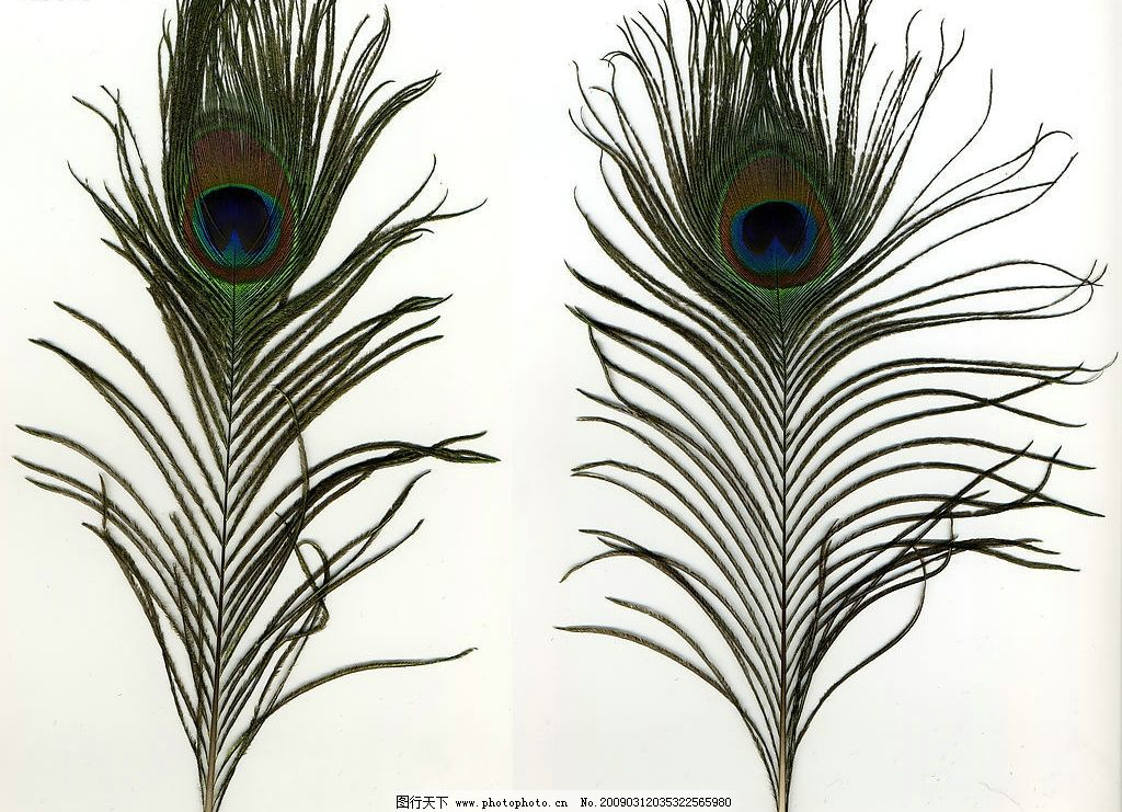 鸟的羽毛 孔雀羽毛 动物 鸟 羽毛 生物世界 鸟类 摄影图库 600dpi jpg