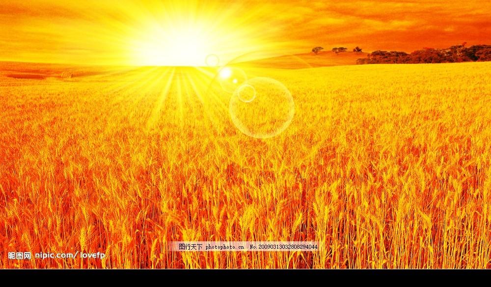 丰收景象 麦田 秋天景色 优美风景 小麦 丰收季节 农田 金黄麦穗 太阳