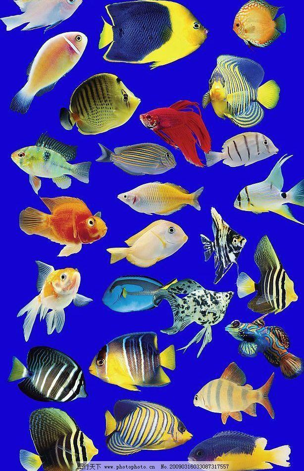 热带鱼 漂亮的热带鱼 花纹 斑纹 蓝色 黄色 黑白 红 斑点 条纹图片