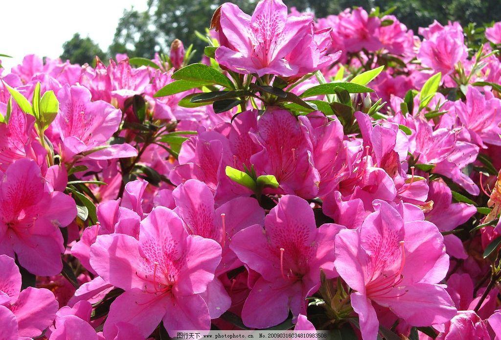 杜鹃花 红花 摄影 照片 粉红色 花丛 近拍 自然景观 自然风景