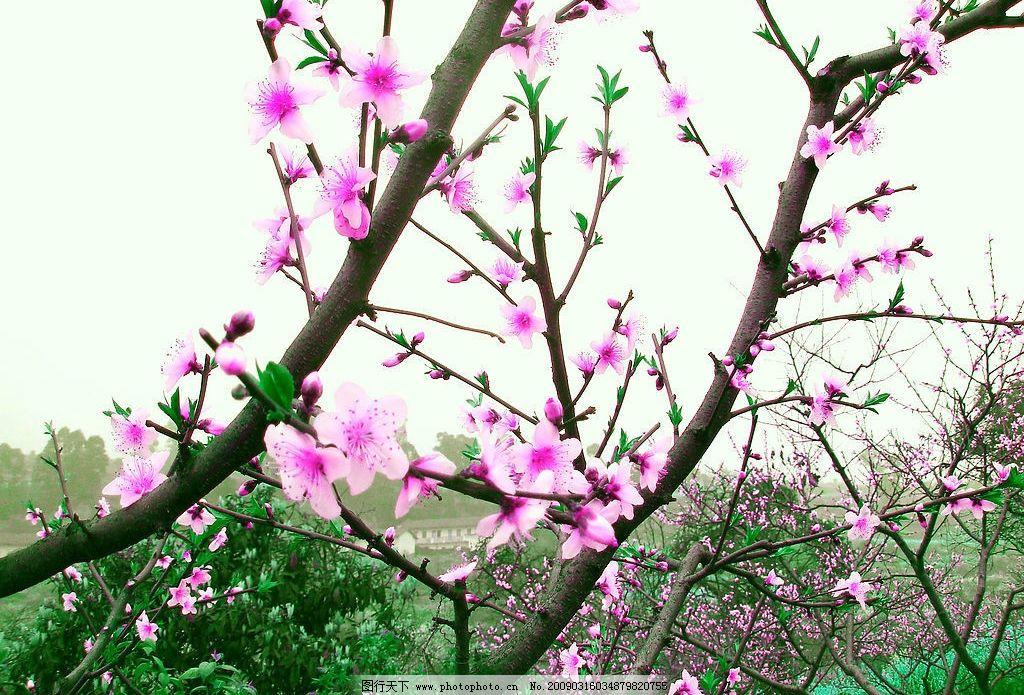 桃花 大自然 风景 绿色 美丽 树 桃树 清新 其他 摄影图库
