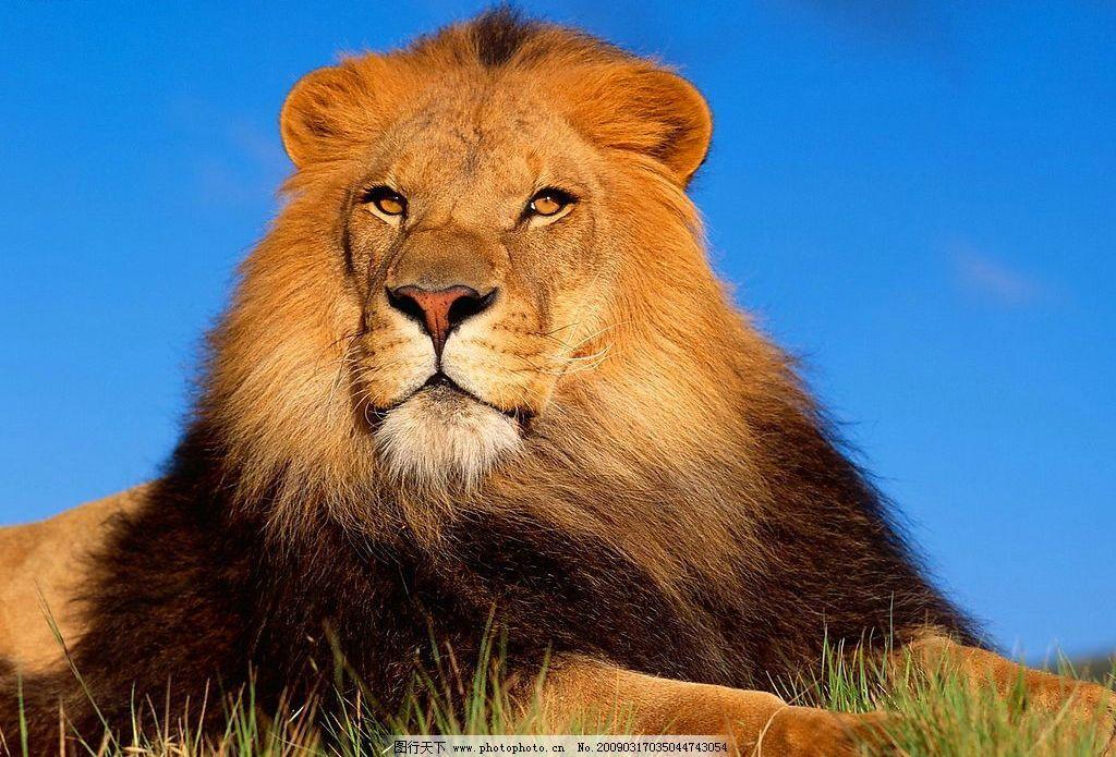 狮子 生物世界 野生动物 摄影图库