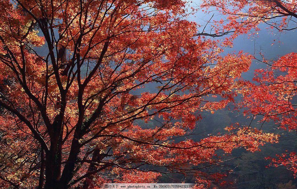 枫树 树林 枫叶 大树 漂亮树叶 阳光 摄影图库