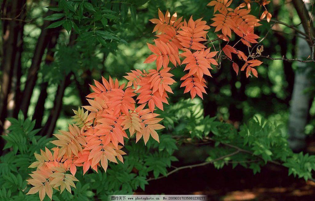 树林 大树 树叶 树干 阳光 红叶 绿色 生物世界 树木树叶 摄影图库 72