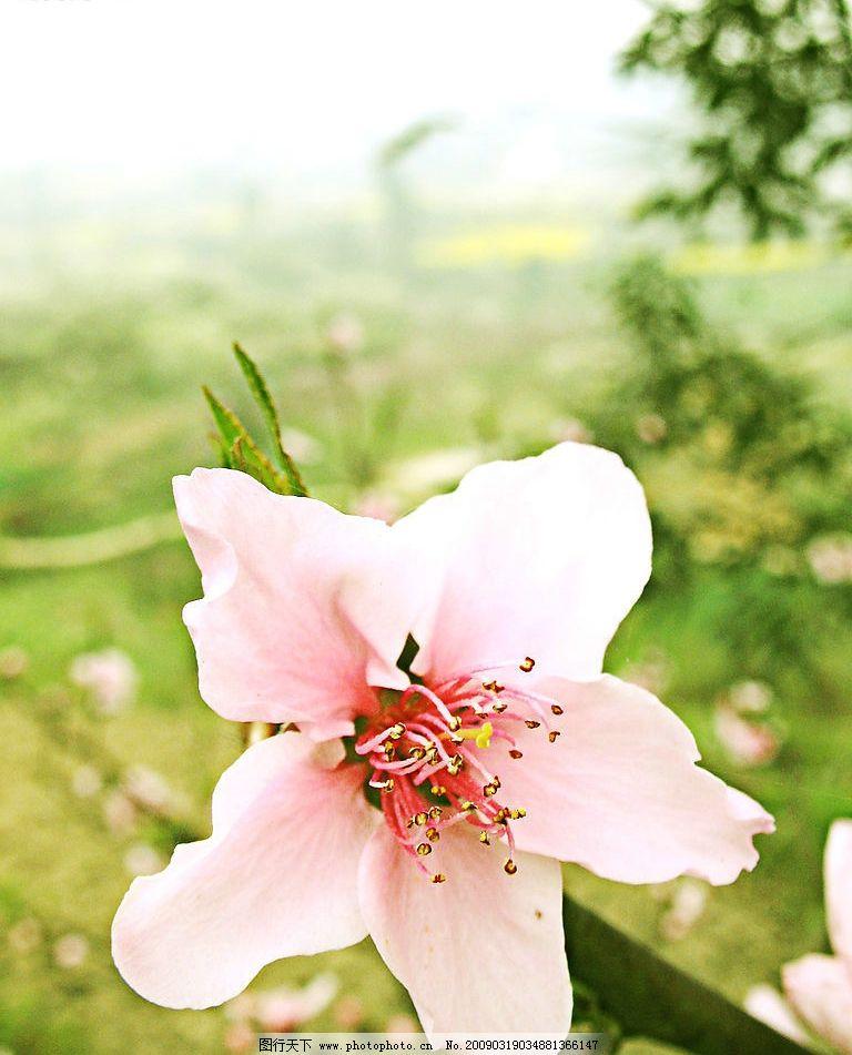 桃花 绿色 风景 大自然 清新 特写 摄影图库