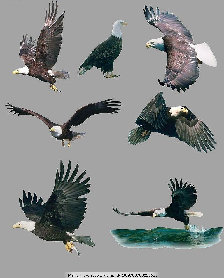 各种老鹰分层图 老鹰 飞行 翅膀 分层图 psd分层素材 源文件库 300dpi