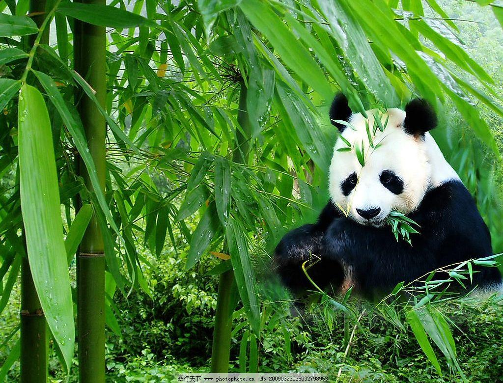熊猫 国宝 竹子 绿色 保护动物 吃 爱护环境 生物世界 野生动物 摄影
