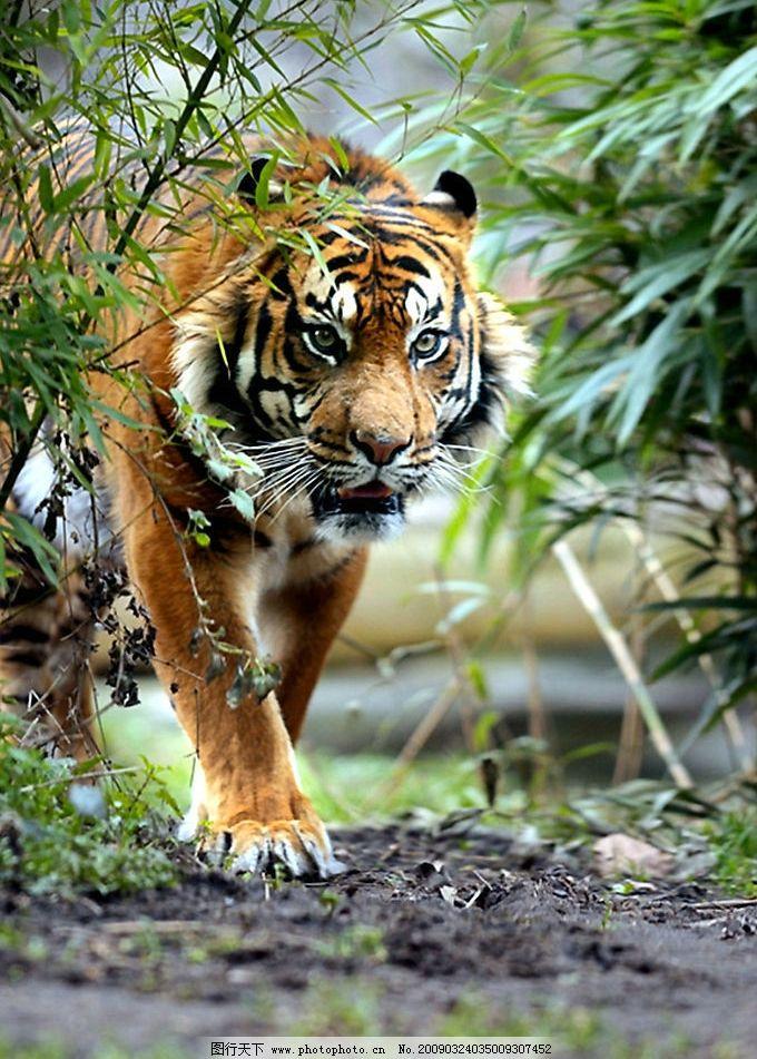 老虎 虎 生物世界 野生动物 摄影图库 300dpi jpg