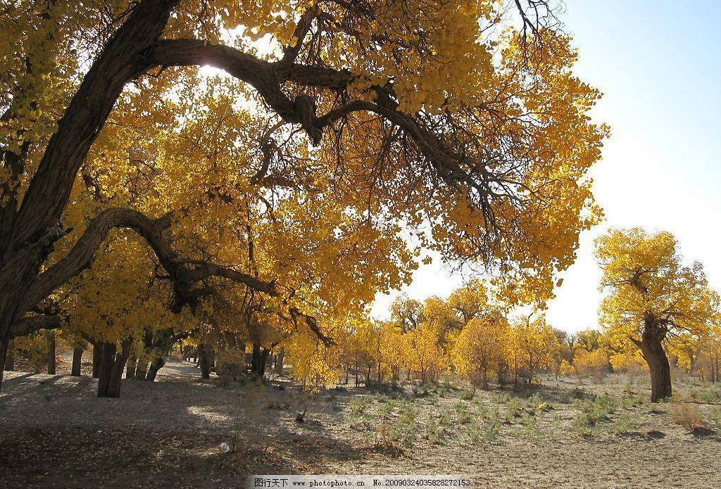 胡杨林 内蒙古 额济纳旗 旅游摄影 生物世界 树木树叶 摄影图库 戈壁