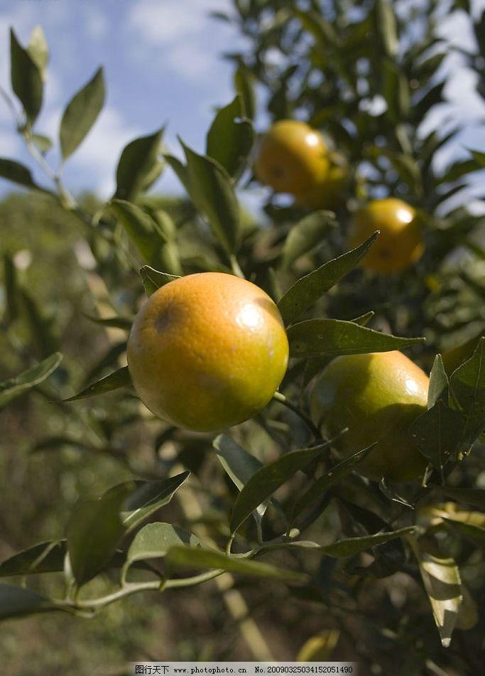桔子 柑 桔 水果 皇帝柑 植物 树 果树 旅游摄影 自然风景 摄影图库
