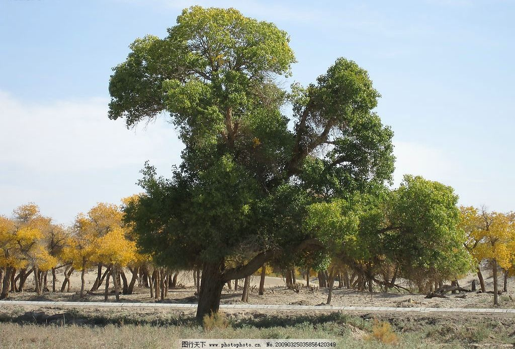 胡杨林 内蒙古 额济纳旗 旅游摄影 摄影图库 生物世界 树木树叶 戈壁
