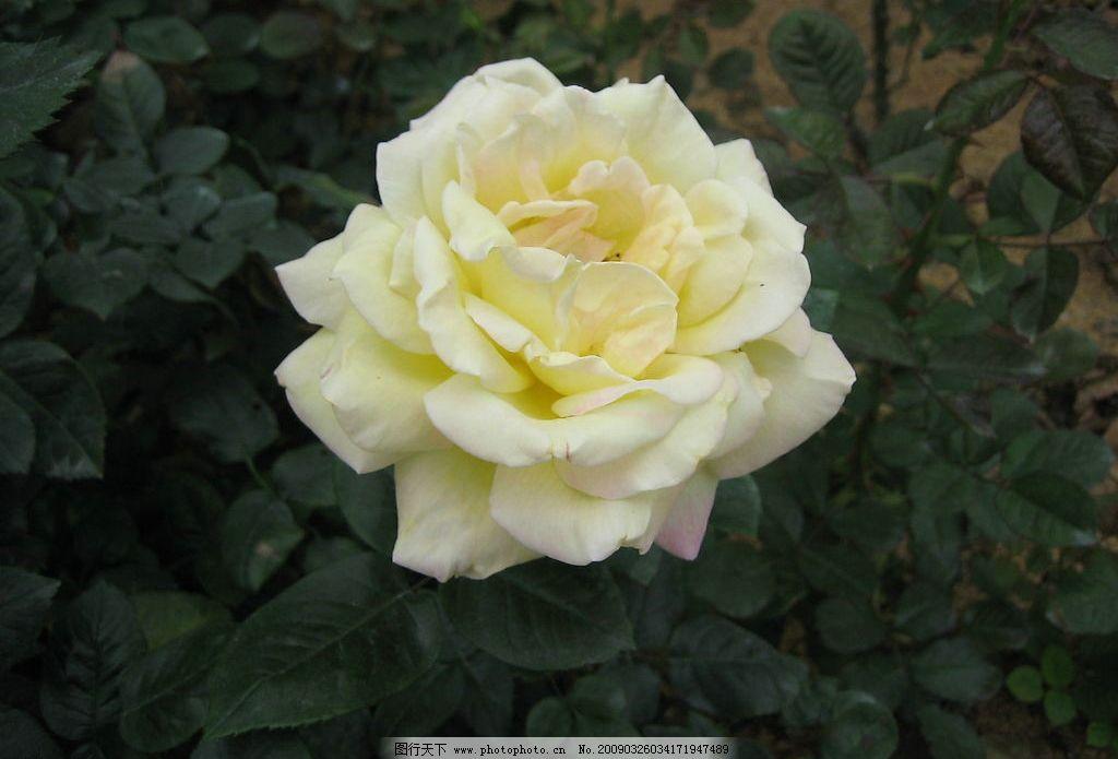 花卉 玫瑰花 旅游摄影 自然风景 摄影图库