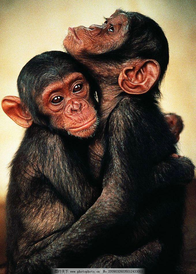 猩猩拥抱 两只猩猩拥抱 动物拥抱 可怜的猩猩 摄影图库