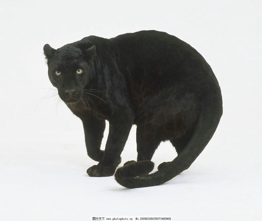 黑豹图片_野生动物_生物世界_图行天下图库