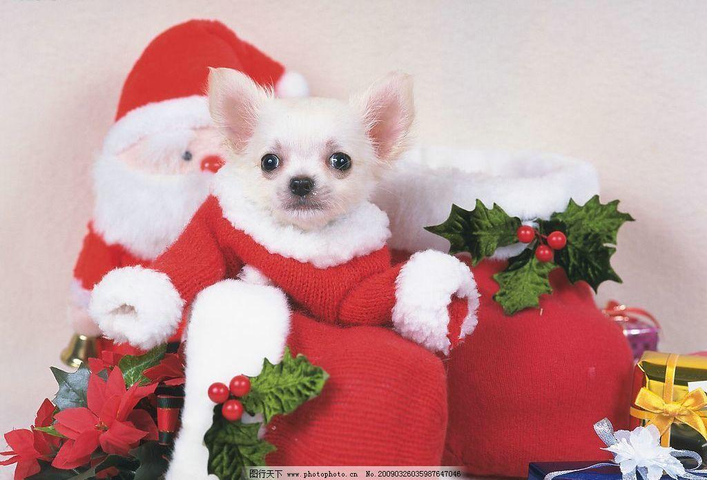 圣诞狗狗 宠物 小狗 圣诞 可爱 生物世界 家禽家畜 摄影图库 350dpi