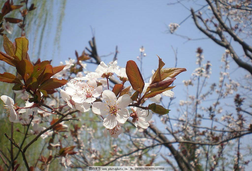 桃花盛开 桃花 花朵 树叶 树枝 蓝天 垂柳 浅景深 生物世界 花草 摄影