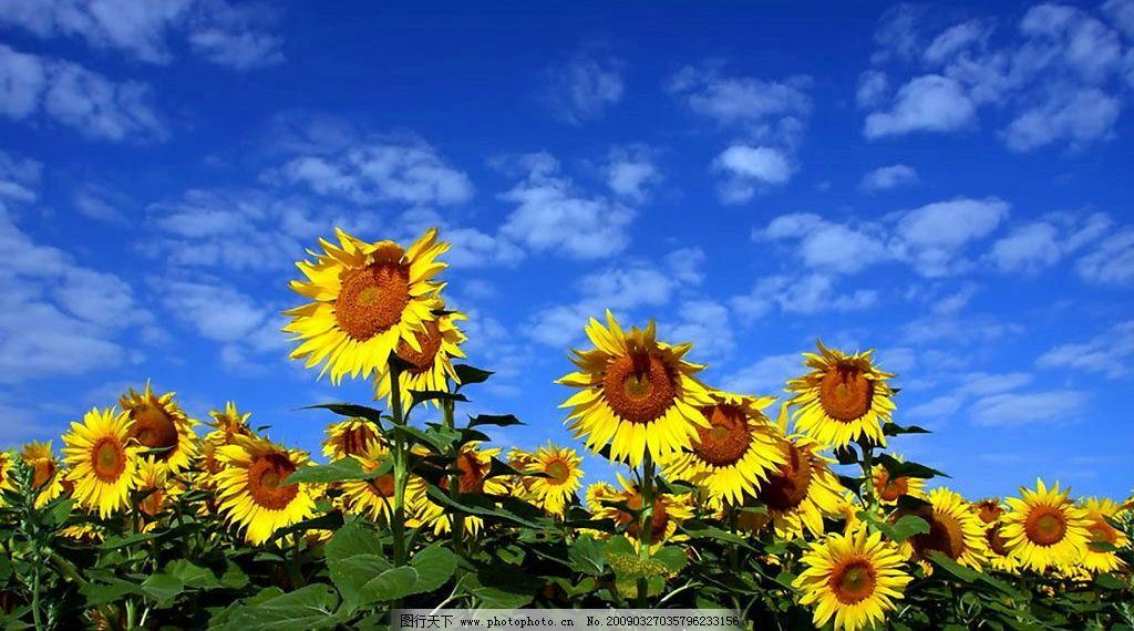 太阳花 花 天空 蓝天 白云 云彩 彩云 素材 生物世界 花草 摄影图库