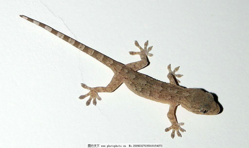 壁虎 自拍壁虎 两栖 动物 蜥蜴 爬虫 生物世界 野生动物 摄影图库 72