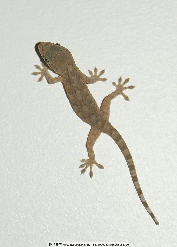 壁虎 自拍壁虎 两栖 动物 蜥蜴 爬虫 其他 图片素材 摄影图库 72dpi