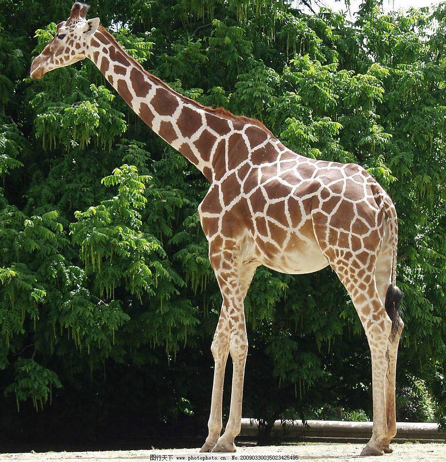 长颈鹿 树木 生物世界 野生动物 摄影图库