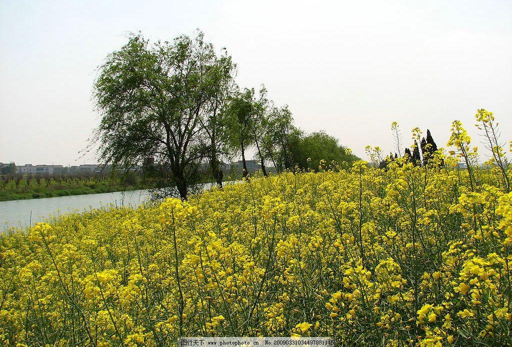春风又绿江南岸 油菜花 大自然 景观 景象 天空 河流 树木 花草