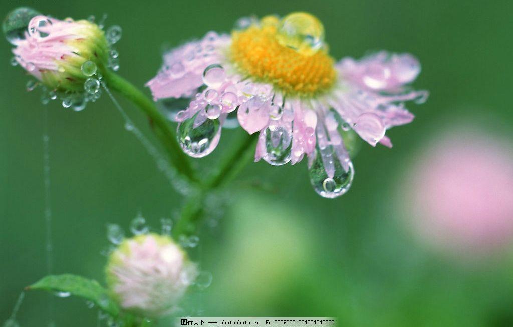 花朵露珠 露珠 花朵 自然景观 自然风景 摄影图库 350dpi jpg
