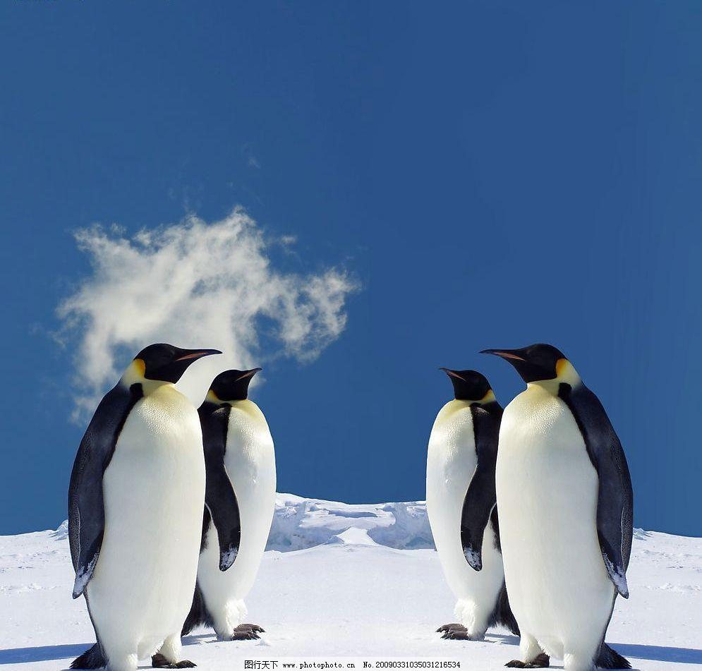动物世界 天空 雪地 南极 企鹅 冰雪 冰地 可爱 冷 生物世界 野生动物