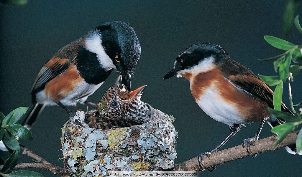 鸟窝 动物 飞鸟 国家保护 自然 物种 飞禽 雏鸟 喂食 栖息