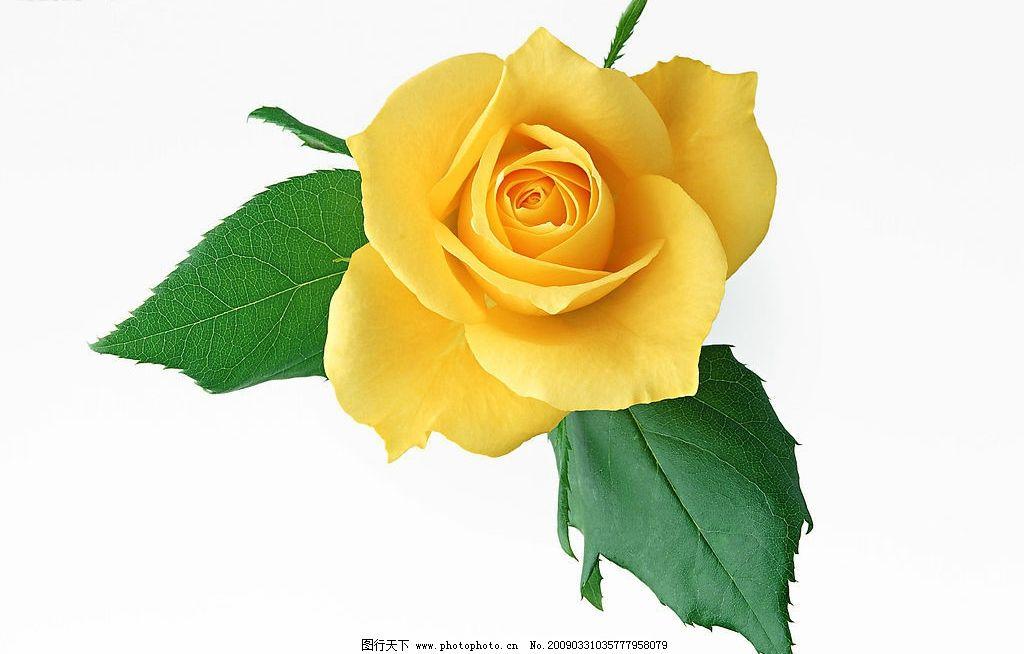 高清玫瑰花图片